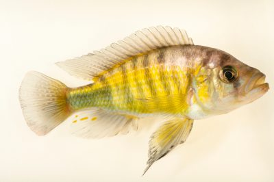 Photo: A babyeater cichlid (Lipochromis melanopterus) at the San Antonio Zoo. Many cichlids like this are mouth brooders.