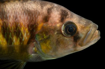 Photo: A babyeater cichlid, Lipochromis melanopterus, at the San Antonio Zoo. Many cichlids like this are mouth brooders.