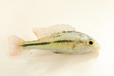 Photo: A degeni cichlid (Haplochromis degeni) at the San Antonio Zoo.