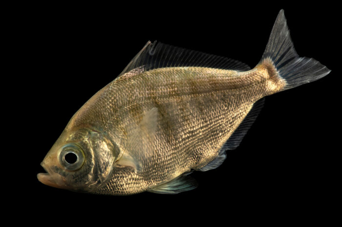 Photo: A walleye surfperch (Hyperprosopon argenteum) at California Science Center in Los Angeles, California.