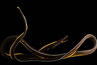 Photo: A ribbon moray eel (Rhinomuraena quaesita) at Petra Aqua.