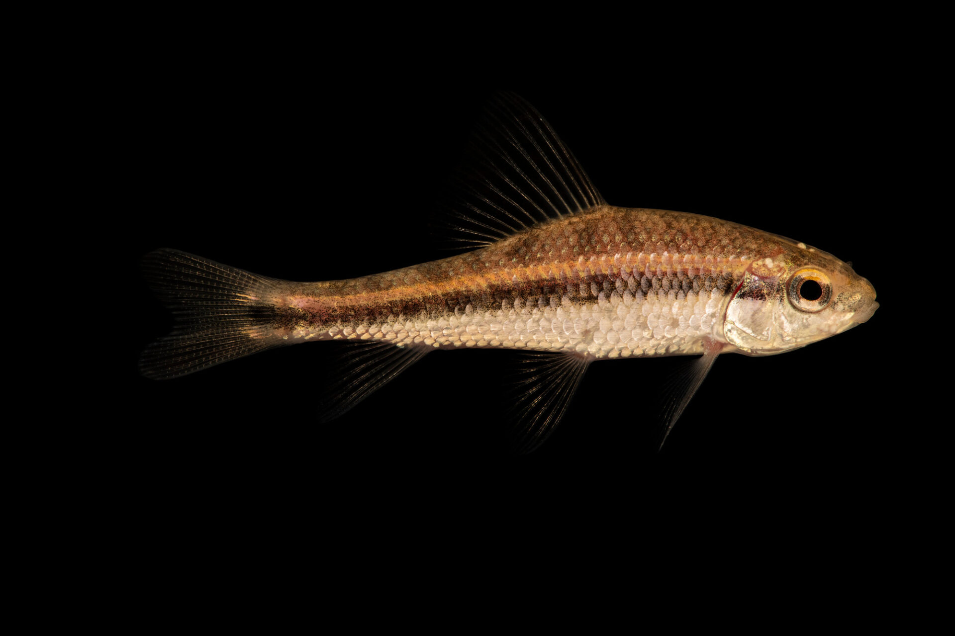 Photo: A lake chubsucker (Erimyzon sucetta) from a private collection in Knoxville, Tennessee.