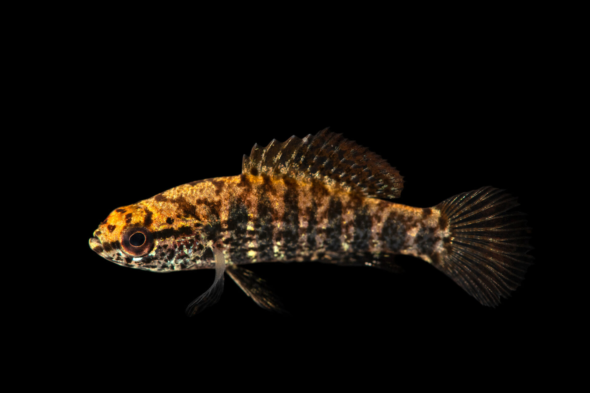 Photo: A banded pygmy sunfish (Elassoma zonatum) from a private collection in Knoxville, Tennessee.