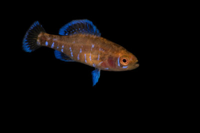 Photo: A Gulf Coast pygmy sunfish (Elassoma gilberti) from a private collection in Knoxville, Tennessee.