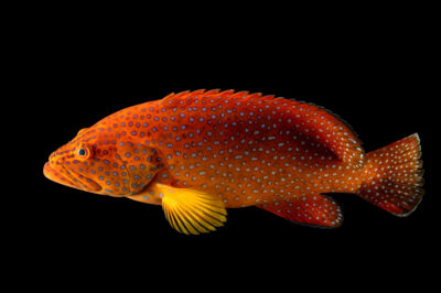 Photo: A coral hind or vermillion grouper (Cephalopholis miniata) at the Oklahoma Aquarium.