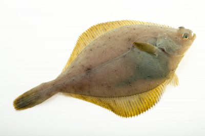 Photo: A yellowfin sole (Limanda aspera) at the Alaska SeaLife Center.