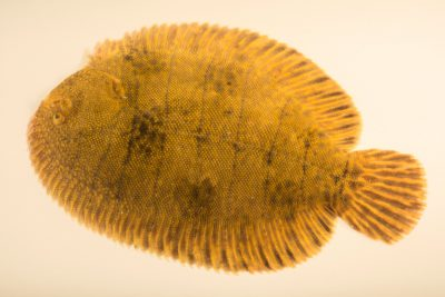 Picture of a Hogchoker (Trinectes maculatus) at Gulf Specimen Marine Lab and Aquarium.