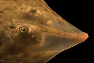 Photo: Texas skate (Raja texana) from the Gulf Specimen Marine Lab.