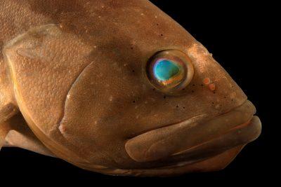 Photo: Red grouper (Epinephelus morio) from the Gulf Specimen Marine Lab.