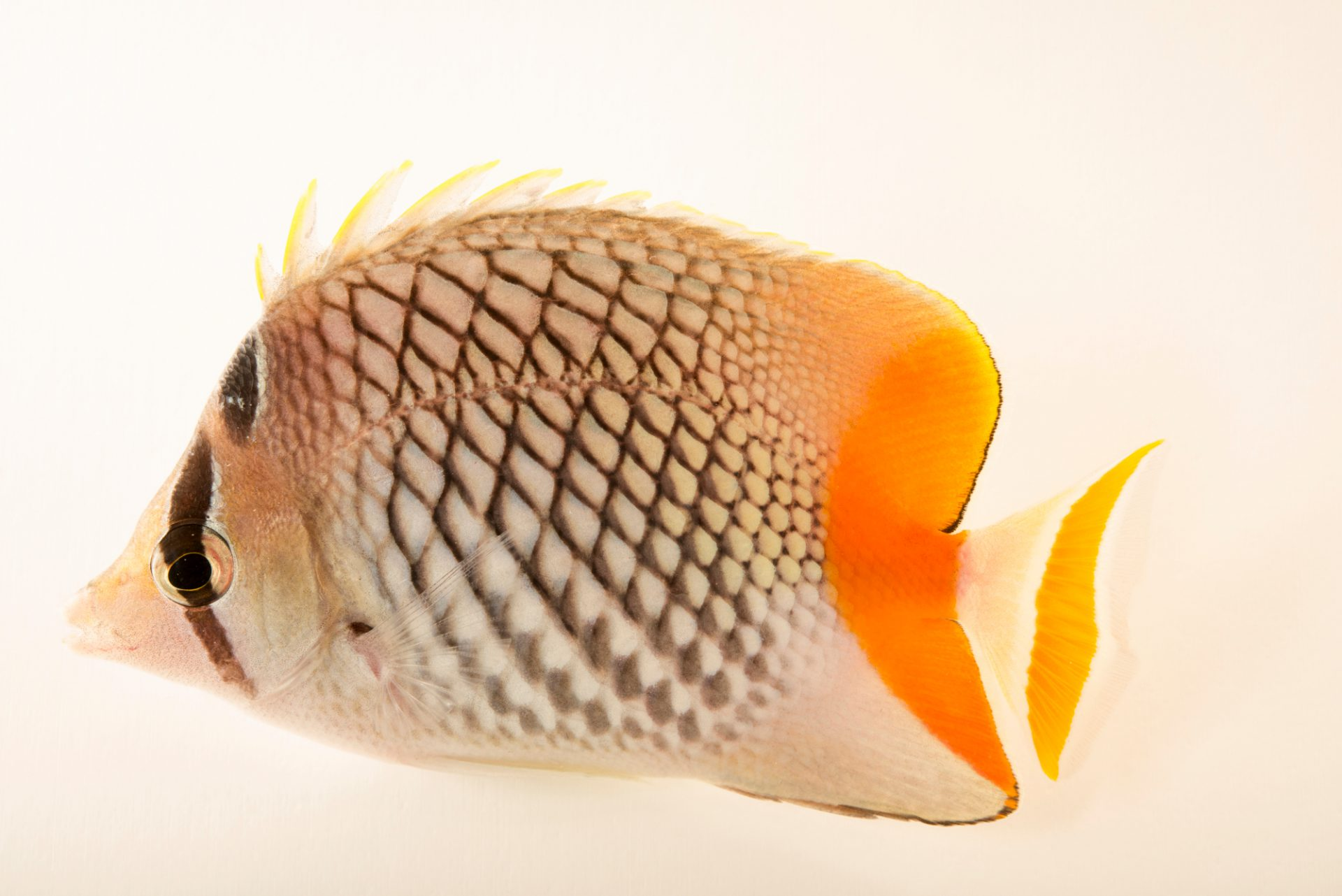 Photo: Pearlscale butterflyfish (Chaetodon xanthurus) from a private collection.