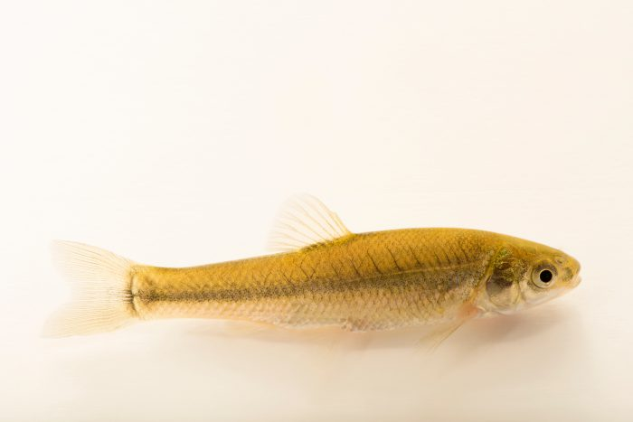 Photo: Sand shiner (Notropis stramineus) at Cedar Point Biological Station.