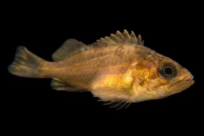 Photo: Quillback rockfish (Sebastes maliger) at the Alaska SeaLife Center in Seward, AK.