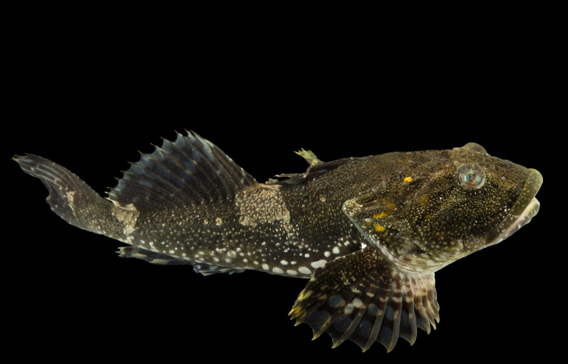 Photo: Great sculpin (Myoxocephalus polyacanthocephalus) at the Alaska SeaLife Center in Seward, AK.