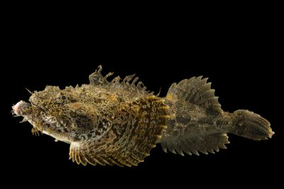Photo: Bigmouth sculpin (Hemitripterus bolini) at the Alaska SeaLife Center in Seward, AK.