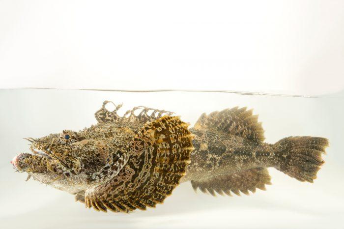 Photo: Bigmouth sculpin (Hemitripterus bolini) at the Alaska SeaLife Center in Seward, AK.