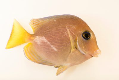 Photo: A juvenile Atlantic blue tang (Acanthurus coeruleus) at the Dallas Children's Aquarium.