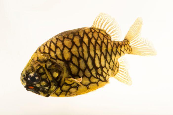 Photo: Pinecone fish (Monocentris japonica) at the Dallas Children's Aquarium.