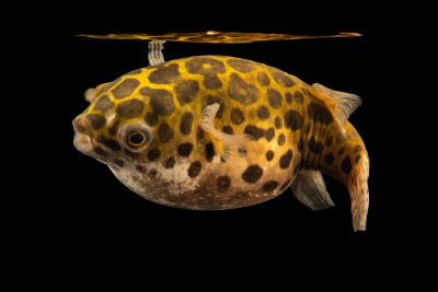 Photo: Figure 8 puffer or eyespot puffer (Tetraodon biocellatus) at the Dallas Children's Aquarium.