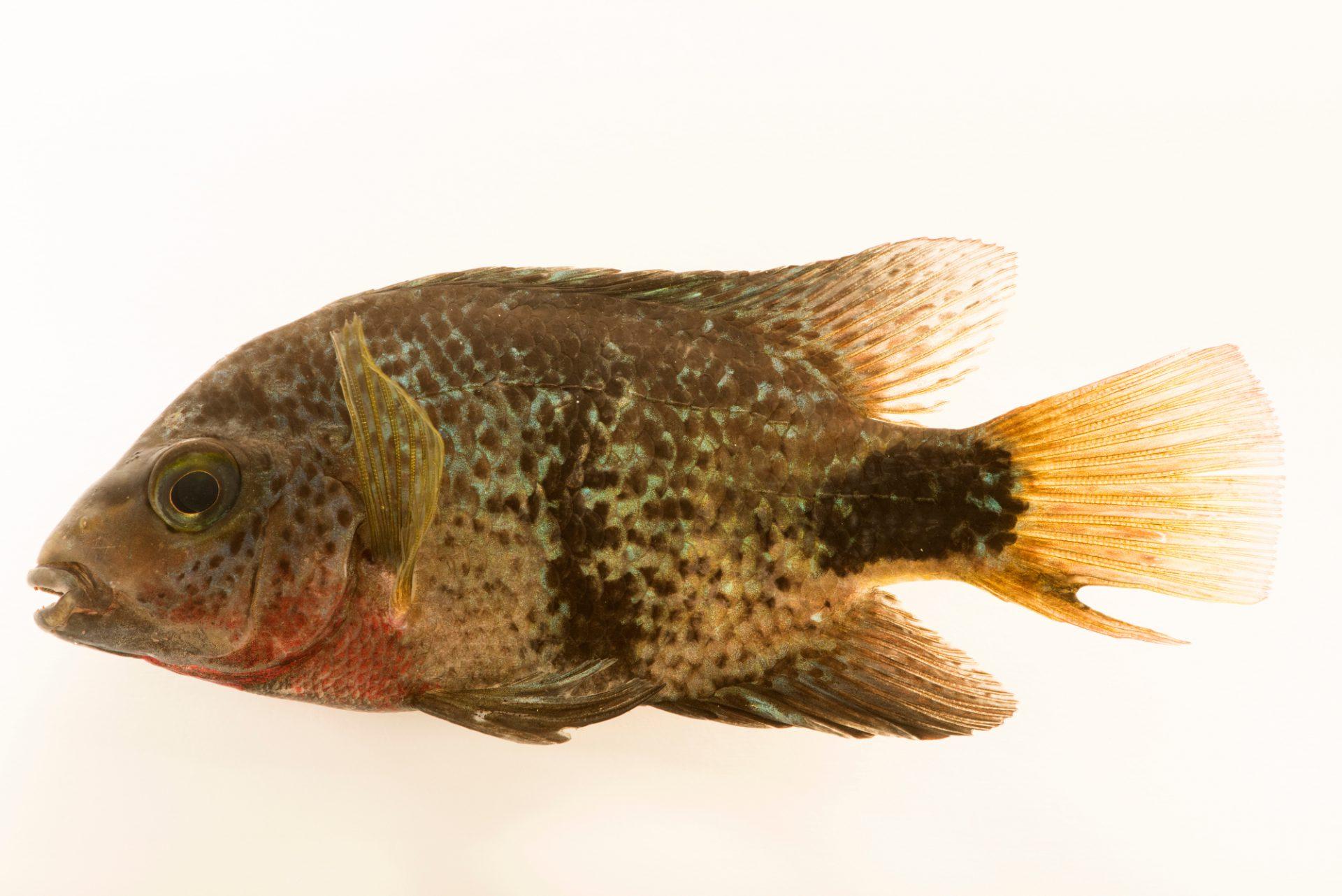 Photo: Blackbelt cichlid (Paraneetroplus maculicauda) at the Dallas Children's Aquarium.