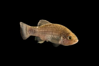 A critically endangered (IUCN) Charco Palma pupfish (Cyprinodon veronicae) at the Dallas Children's Aquarium. A native of Mexico, this species is extinct in the wild.