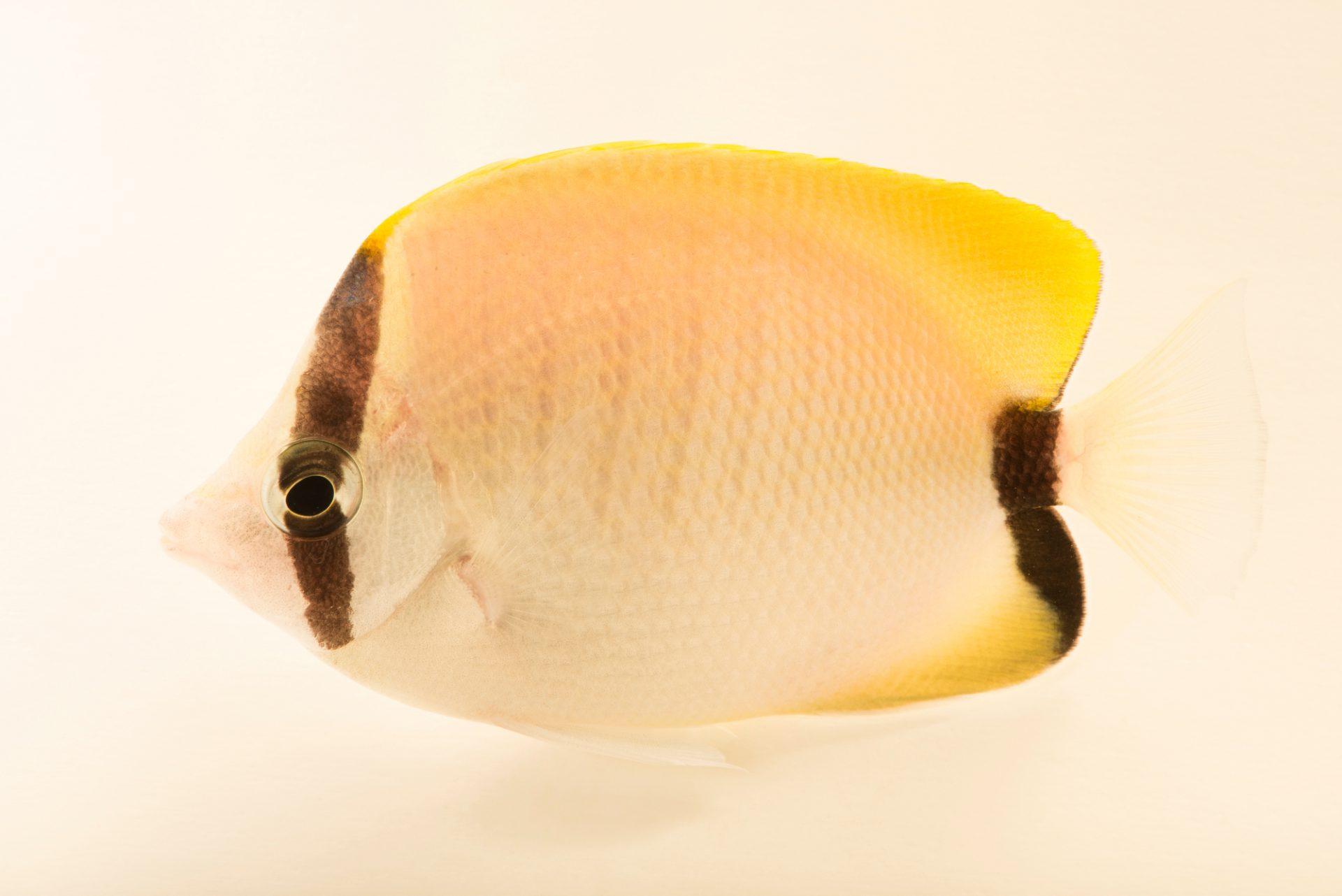 Photo: Reef butterflyfish (Chaetodon sedentarius) at the Dallas Children's Aquarium.