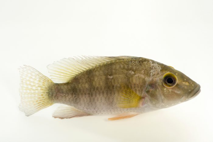 Photo: Chromidotilapia melaniae at L'aquarium tropical du palais de la Porte DorŽe.