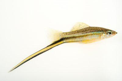 Photo: A male Montezuma swordtail (Xiphophorus montezumae) at L'aquarium tropical du palais de la Porte DorŽe.