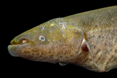Photo: Banded knifefish (Gymnotus carapo) at L'aquarium tropical du palais de la Porte DorŽe.