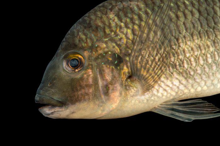 Photo: Redbreast tilapia (Tilapia rendalli) at L'aquarium tropical du palais de la Porte DorŽe.