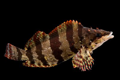 Photo: A female painted greenling (Oxylebius pictus) at Aquarium of the Pacific in Long Beach, CA.