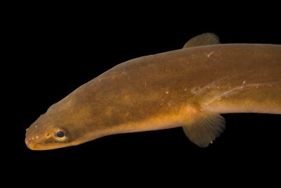 Photo: An endangered American eel (Anguilla rostrata) at Welaka National Fish Hatchery Aquarium.