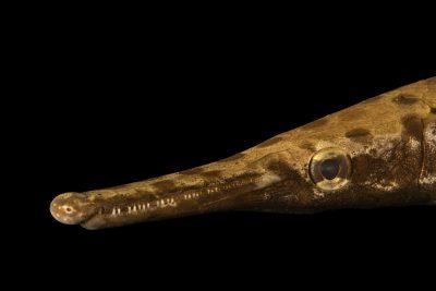 Photo: Spotted gar (Lepisosteus oculatus) at Welaka National Fish Hatchery Aquarium.