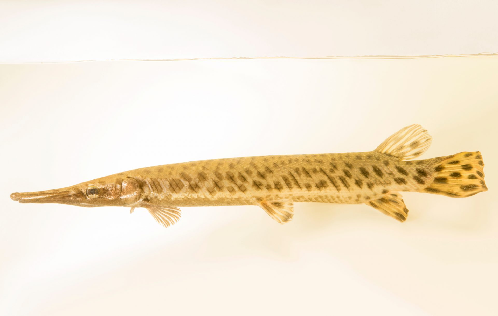 Photo: Spotted gar (Lepisosteus oculatus) at Welaka National Fish Hatchery Aquarium.