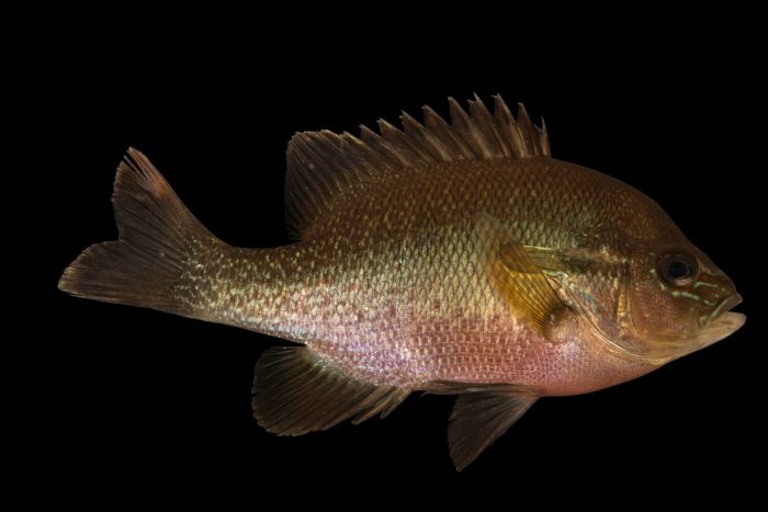 Photo: Redbreast Sunfish (Lepomis auritus) at Welaka National Fish Hatchery Aquarium.