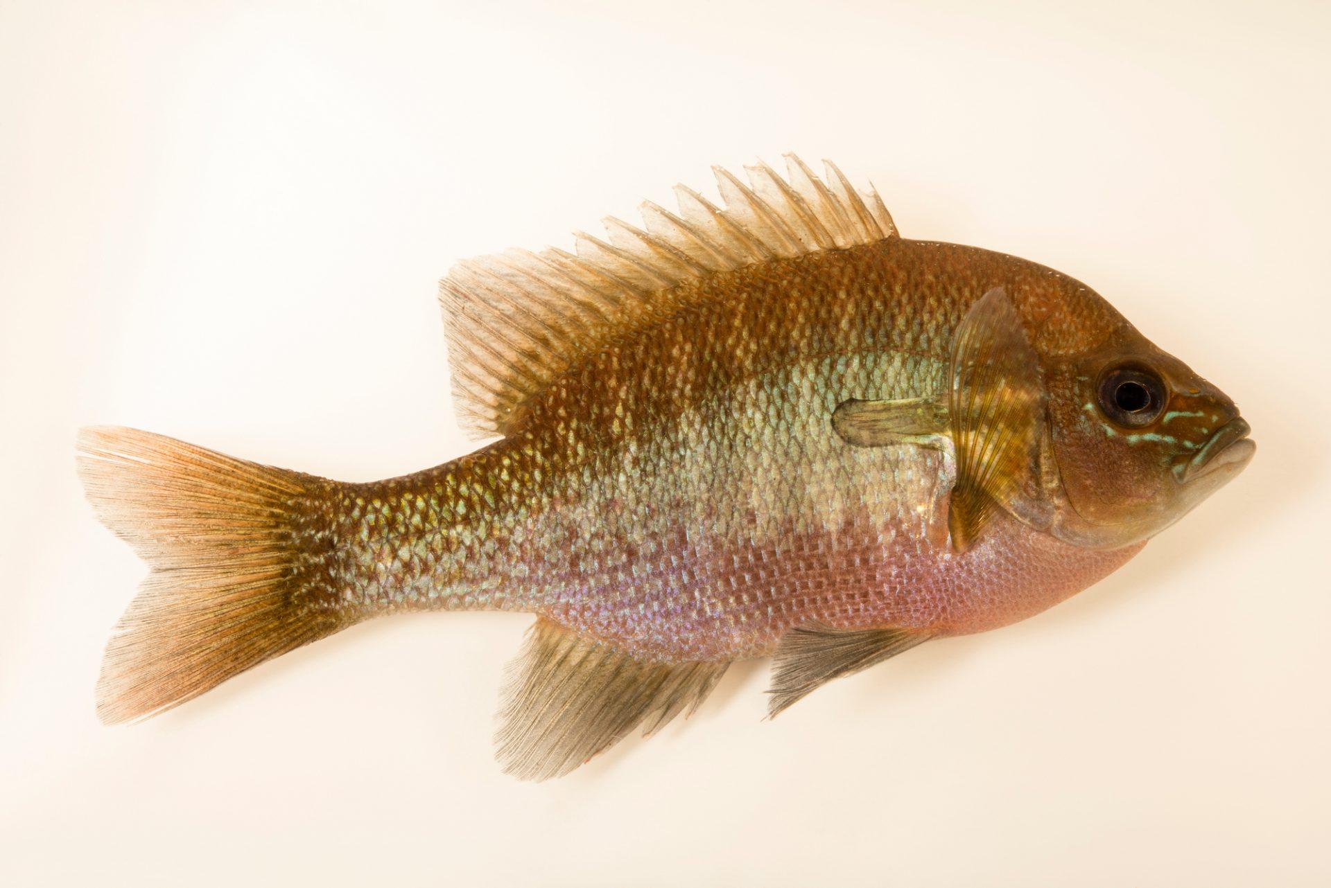 Photo: Redbreast Sunfish (Lepomis auritus) at Welaka National Fish Hatchery Aquarium.