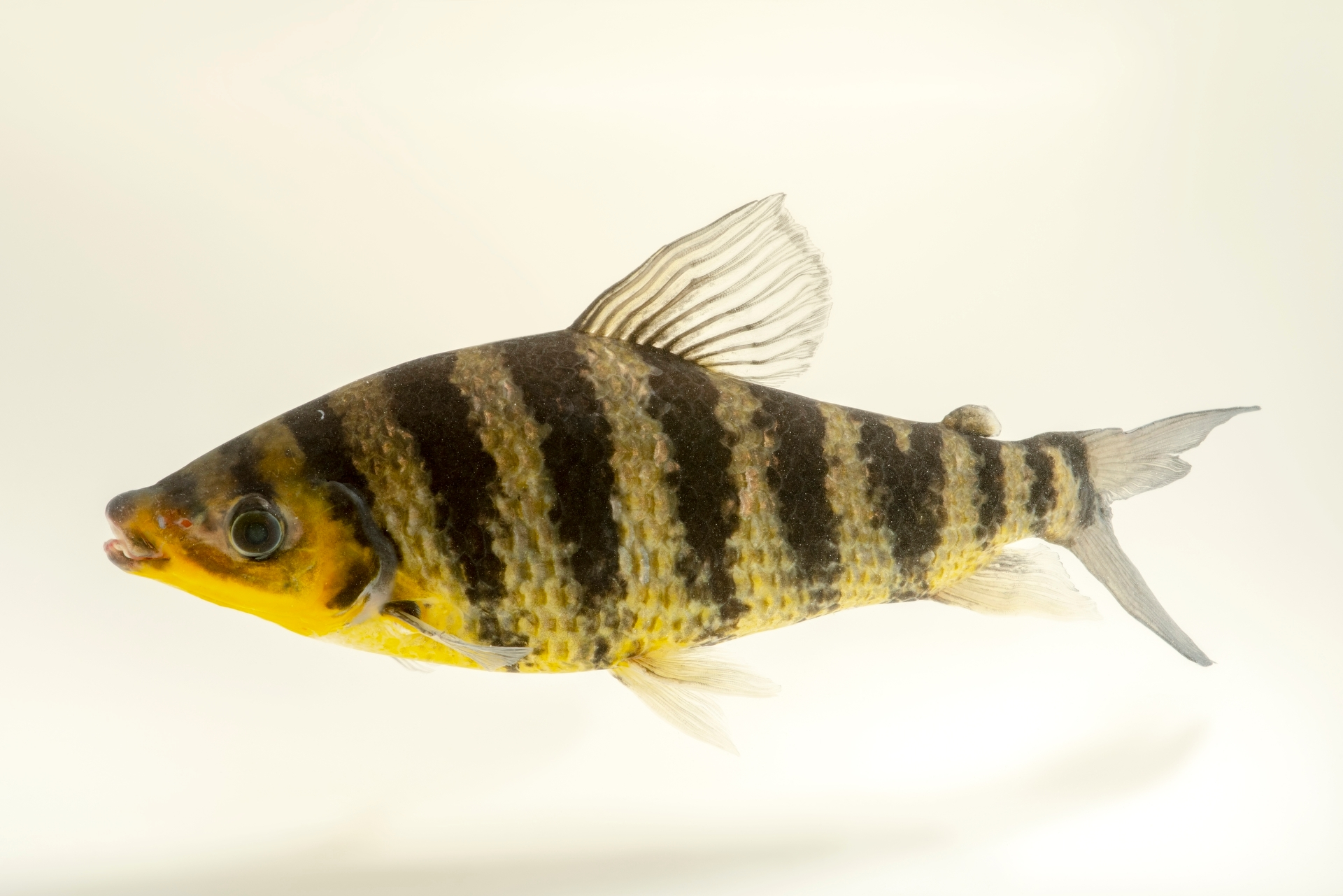 Photo: A banded leporinus (Leporinus fasciatus) at the Oklahoma City Zoo.