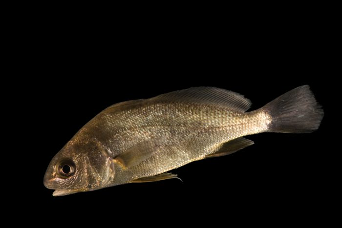 Photo: Freshwater drum (Aplodinotus grunniens) at the Minnesota Department of Natural Resources Center for Aquatic Mollusk Programs.