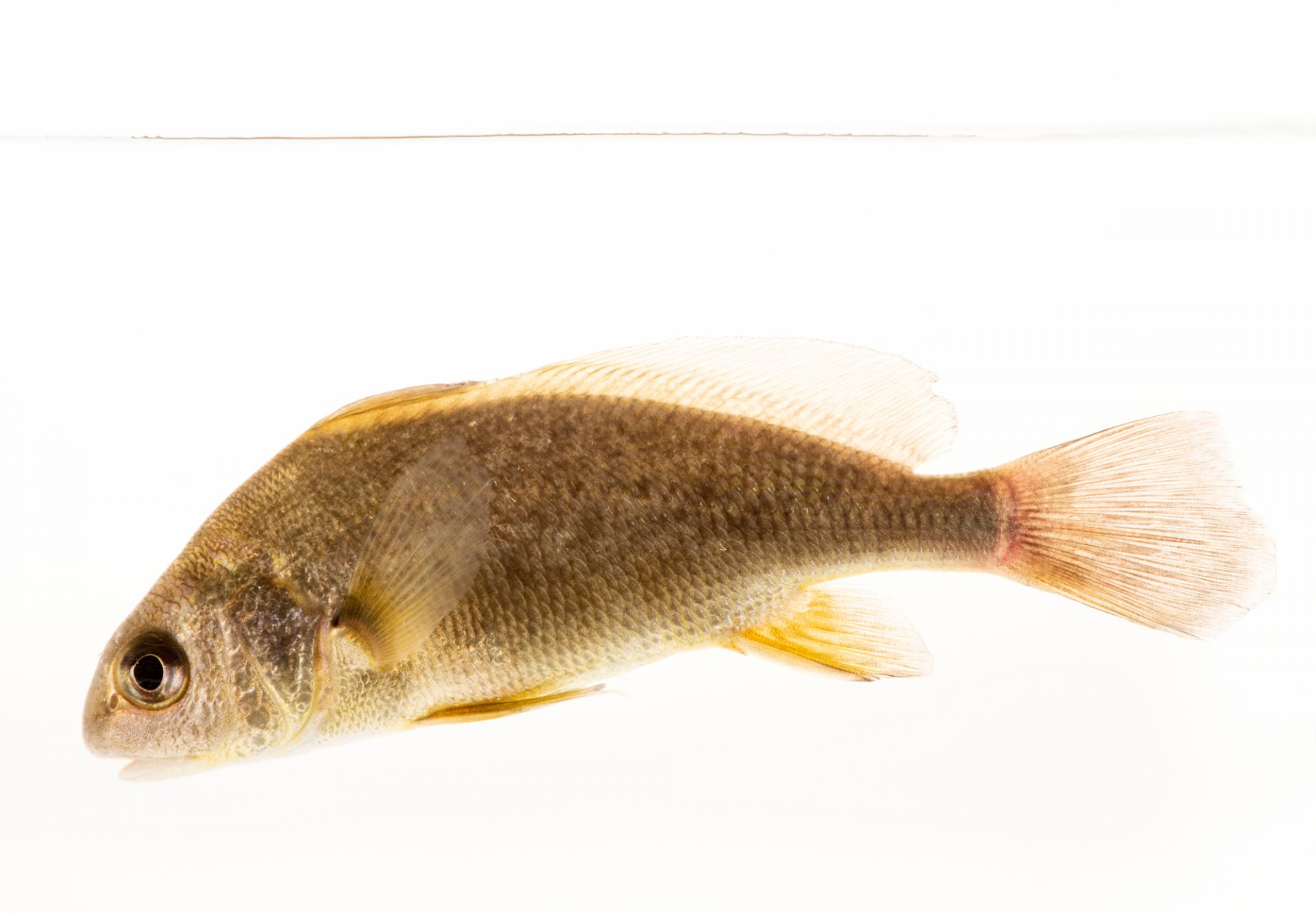 Photo: Freshwater drum (Aplodinotus grunniens) at the Minnesota Department of Natural Resources Center for Aquatic Mollusk Programs.