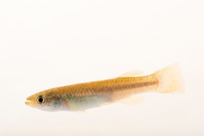 Photo: Plains topminnow (Fundulus sciadicus) at the Minnesota Department of Natural Resources Center for Aquatic Mollusk Programs.