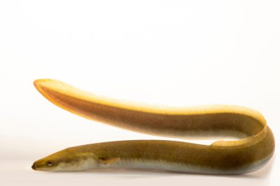 Photo: A endangered (IUCN) American eel (Anguilla rostrata) at the Minnesota Dept. of Natural Resources Center for Aquatic Mollusk Programs.