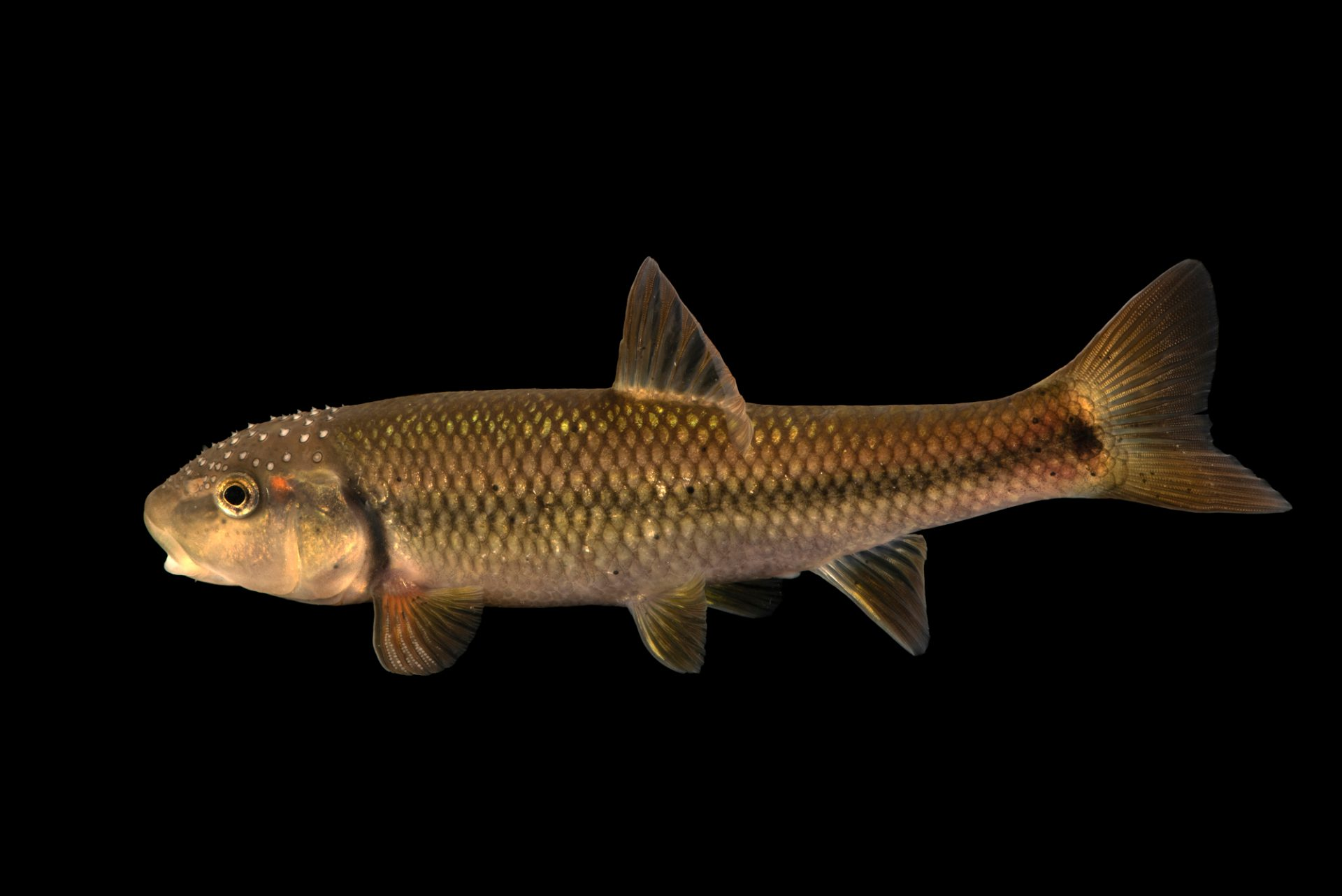 Photo: Hornyhead chub (Nocomis biguttatus) at the Minnesota Dept. of Natural Resources Center for Aquatic Mollusk Programs.