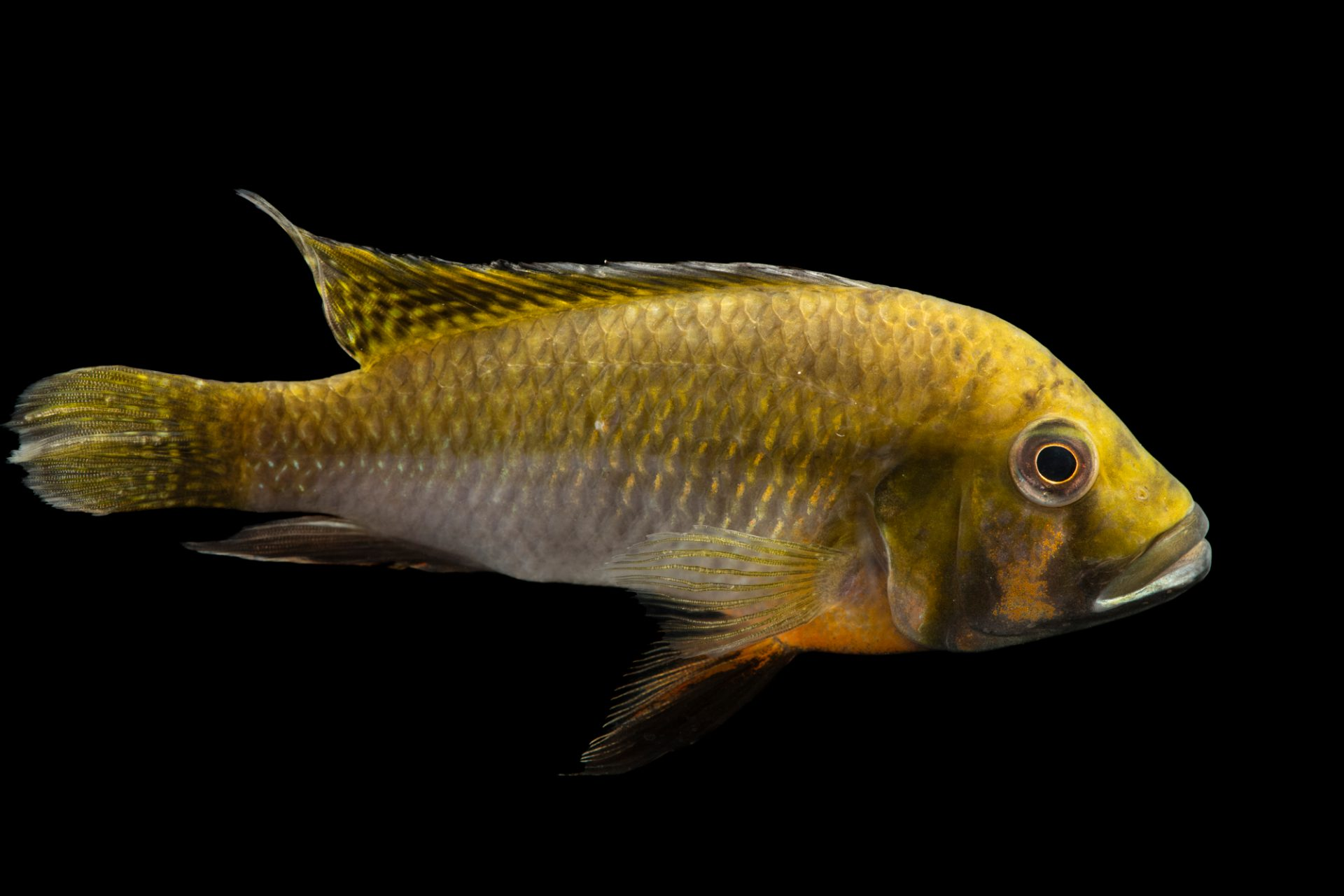 Photo: An unidentified Cichlid, thought to be (Omis bausci) at the Moscow Zoo.
