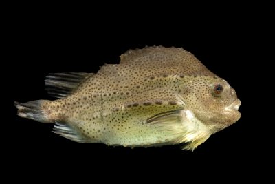 Photo: A smooth lumpfish (Cyclopteropsis jordani) at the Blank Park Zoo in Des Moines, IA.