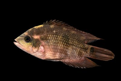 Photo: A chocolate cichlid (Hypselecara temporalis) at the Blank Park Zoo in Des Moines, IA.
