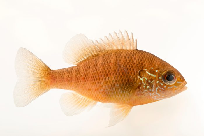 Photo: Dollar sunfish (Lepomis marginatus) at the Cincinnati Zoo.