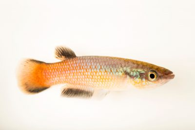 Photo: An endangered Sakaramy killifish (Pachypanchax sakaramyi) at Denver Zoo.