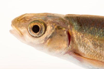 Photo: Hardhead minnow (Mylopharodon conocephalus) at the University of California, Davis.