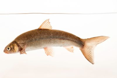 Photo: Sacramento splittail (Pogonichthys macrolepidotus) at the University of California, Davis.