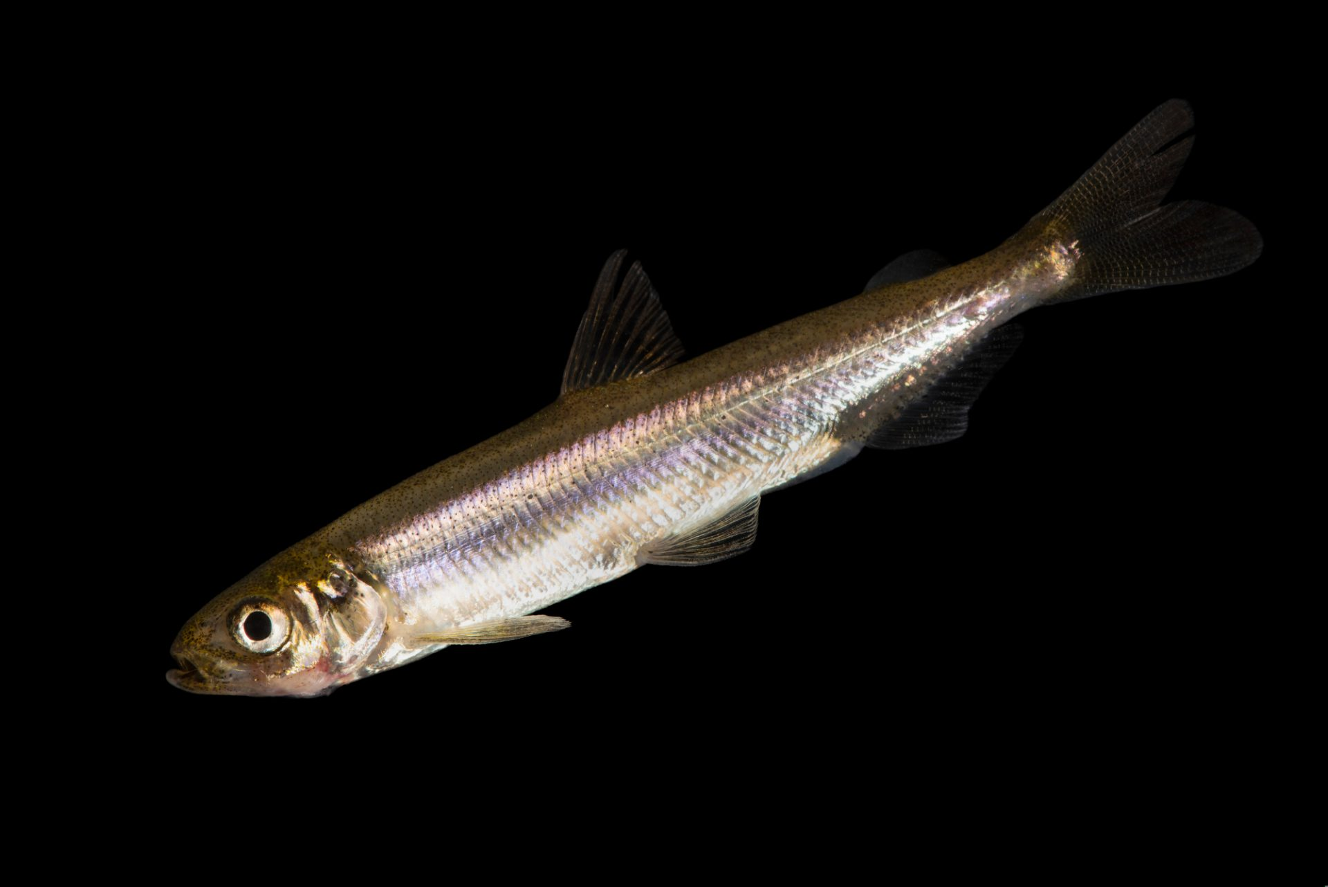 Photo: A critically endangered Delta smelt (Hypomesus transpacificus) at the University of California, Davis.