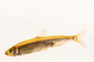 Photo: A critically endangered Delta smelt (Hypomesus transpacificus) at the University of California, Davis.